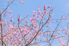 Ρόδινο δέντρο sakura Στοκ φωτογραφία με δικαίωμα ελεύθερης χρήσης
