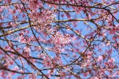 Ρόδινο δέντρο sakura Στοκ Εικόνα