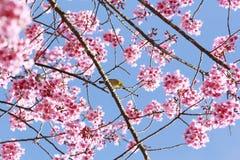 Ρόδινο δέντρο sakura Στοκ Εικόνες