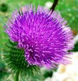 Ρόδινο ακανθωτό plumeless λουλούδι κάρδων Στοκ Εικόνες