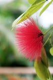 Ρόδινο ακιδωτό λουλούδι Στοκ εικόνα με δικαίωμα ελεύθερης χρήσης