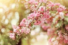 Ρόδινο ανθίζοντας δέντρο της Apple την άνοιξη Στοκ Εικόνες