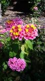 Ρόδινο ανθίζοντας φυτό στοκ φωτογραφίες
