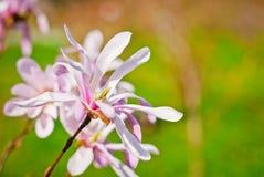 Ρόδινο ανθισμένο λουλούδι magnolia Στοκ εικόνα με δικαίωμα ελεύθερης χρήσης
