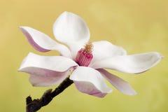 Ρόδινο ανθισμένο λουλούδι magnolia Στοκ εικόνες με δικαίωμα ελεύθερης χρήσης