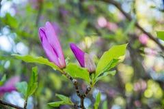 Ρόδινο ανθισμένο λουλούδι magnolia Στοκ φωτογραφίες με δικαίωμα ελεύθερης χρήσης