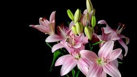 Ρόδινο ασιατικό λουλούδι Timelapse κρίνων απόθεμα βίντεο