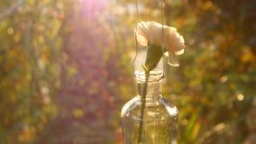 Ρόδινο γαρίφαλο σε ένα βάζο στο υπόβαθρο ηλιοβασιλέματος απόθεμα βίντεο