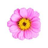 Ρόδινο ενιαίο λουλούδι που απομονώνεται Στοκ εικόνες με δικαίωμα ελεύθερης χρήσης