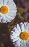 ρόδινο λευκό μαργαριτών Στοκ εικόνες με δικαίωμα ελεύθερης χρήσης