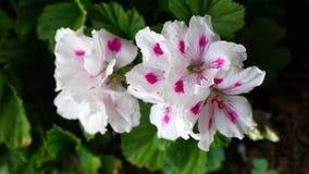 ρόδινο λευκό λουλουδ&io Στοκ Εικόνες
