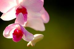 Ρόδινο ελατήριο λουλουδιών Στοκ Φωτογραφίες