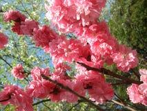 Ρόδινο ελατήριο λουλουδιών Στοκ Εικόνες