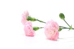 Ρόδινο διάστημα λουλουδιών και αντιγράφων γαρίφαλων Στοκ φωτογραφία με δικαίωμα ελεύθερης χρήσης