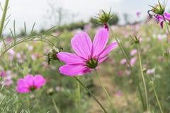 Ρόδινο λιβάδι wildflowers στον τομέα Στοκ εικόνα με δικαίωμα ελεύθερης χρήσης