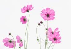 Ρόδινο λιβάδι wildflowers στο άσπρο υπόβαθρο Στοκ Εικόνα