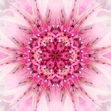 Ρόδινο κέντρο λουλουδιών Mandala Ομόκεντρο σχέδιο καλειδοσκόπιων Στοκ Εικόνα