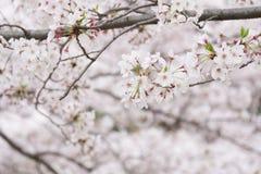 Ρόδινο και άσπρο άνθος κερασιών Στοκ εικόνες με δικαίωμα ελεύθερης χρήσης