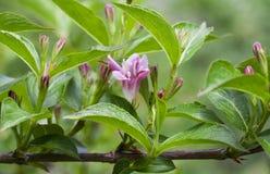 Ρόδινο και άσπρο αγιόκλημα Woodbine λουλουδιών Στοκ Εικόνες