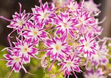 Ρόδινο και άσπρο αστέρι Phlox Beaufiful Στοκ Εικόνες
