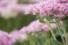 Ρόδινο και άσπρο λουλούδι στον κήπο Στοκ φωτογραφία με δικαίωμα ελεύθερης χρήσης