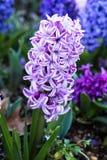 Ρόδινο και άσπρο λουλούδι υάκινθων που αυξάνεται την άνοιξη τον κήπο Στοκ Εικόνες