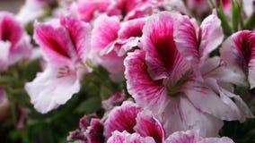 Ρόδινο και άσπρο λουλούδι Στοκ φωτογραφία με δικαίωμα ελεύθερης χρήσης