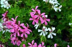Ρόδινο και άσπρο λουλούδι clematis στοκ φωτογραφία με δικαίωμα ελεύθερης χρήσης