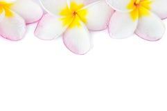 Ρόδινο και άσπρο χρώμα Plumeria κινηματογραφήσεων σε πρώτο πλάνο Στοκ Φωτογραφία