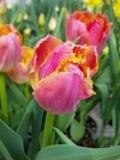 Ρόδινο και κίτρινο λουλούδι Στοκ εικόνες με δικαίωμα ελεύθερης χρήσης