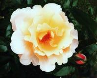 Ρόδινο και κίτρινο λουλούδι Στοκ Φωτογραφία