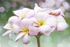 Ρόδινο και κίτρινο Plumeria Στοκ Εικόνες