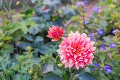 Ρόδινο και κόκκινο λουλούδι με το πράσινο φύλλο Στοκ εικόνα με δικαίωμα ελεύθερης χρήσης