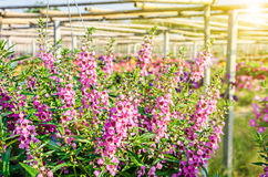 Ρόδινο και πορφυρό λουλούδι Angelonia Στοκ εικόνες με δικαίωμα ελεύθερης χρήσης