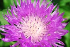 Ρόδινο καλαμπόκι-λουλούδι Στοκ Εικόνα