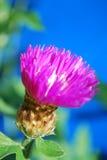 Ρόδινο καλαμπόκι-λουλούδι Στοκ εικόνες με δικαίωμα ελεύθερης χρήσης
