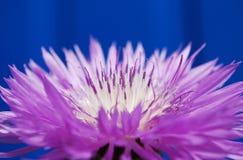 Ρόδινο καλαμπόκι-λουλούδι Στοκ Φωτογραφίες