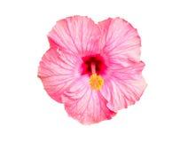 Ρόδινο κινεζικό Hibiscus λουλούδι Στοκ Εικόνες