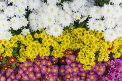 Ρόδινο, κόκκινο, κίτρινο και άσπρο λουλούδι χρυσάνθεμων Στοκ φωτογραφία με δικαίωμα ελεύθερης χρήσης