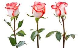 ρόδινο λευκό τριαντάφυλ&lambda Στοκ εικόνα με δικαίωμα ελεύθερης χρήσης