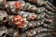 Ρόδινο μανιτάρι στρειδιών Στοκ Εικόνες