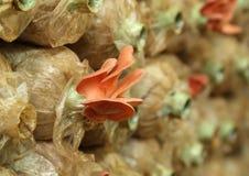 Ρόδινο μανιτάρι στρειδιών (djamor Pleurotus) στις τσάντες γόνου Στοκ Εικόνες