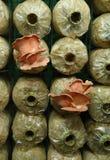 Ρόδινο μανιτάρι στρειδιών (djamor Pleurotus) στις τσάντες γόνου Στοκ Φωτογραφίες