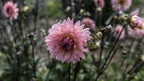 Ρόδινο μεγάλο λουλούδι κήπων Στοκ Εικόνες