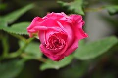 Ρόδινο μπουμπούκι τριαντάφυλλου με τα leafes Στοκ Εικόνες