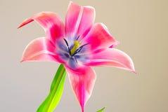 Ρόδινο λουλούδι άνοιξη ανθών τουλιπών Στοκ Φωτογραφίες