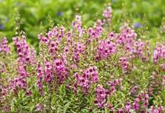 Ρόδινο λουλούδι ή goyazensis Benth Angelonia Στοκ Εικόνες