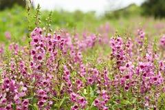 Ρόδινο λουλούδι ή goyazensis Benth Angelonia Στοκ Εικόνα