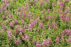 Ρόδινο λουλούδι ή goyazensis Benth Angelonia Στοκ φωτογραφία με δικαίωμα ελεύθερης χρήσης