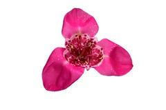 Ρόδινο λουλούδι ίριδων που απομονώνεται στο άσπρο υπόβαθρο Στοκ Εικόνα